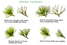 Balancing growth, specifically needle thinning but can be applied to other types.