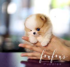 Teacup Pomeranian, Tea Cups, Teddy Bear, Puppies, Colours, Photography, Animals, Cubs, Photograph