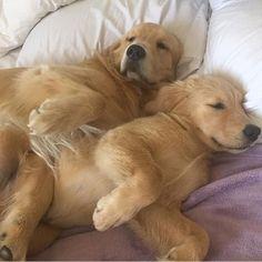 Cuddles @golden__beau