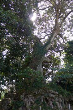 It is Ichiikashi  , a big oak in kikuchi  shisuimachi.