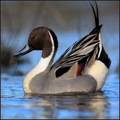 IMG_7909-002 Pretty Birds, Beautiful Birds, Animals Beautiful, Waterfowl Hunting, Duck Hunting, Exotic Birds, Colorful Birds, Nature Animals, Animals And Pets