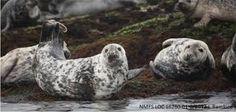 Image result for grey seals gray seals pinterest