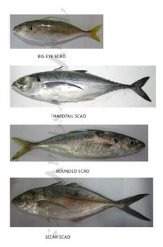 different types of fishes images with names 2017 Fish … – A Selection of Pins about Animals Animals Name In English, Goldfish Types, Fish Chart, Red Mullet, Oscar Fish, Spanish Mackerel, Parrot Fish, Yellowfin Tuna, Fish Finger