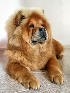 Bonnie ❤️ my sweet lioness. Chow chow dog.