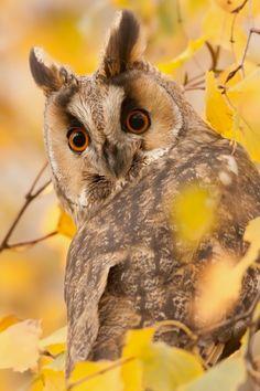 Long-eared Owl byDenis Bitter