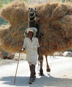 Camel carter . Rajasthan