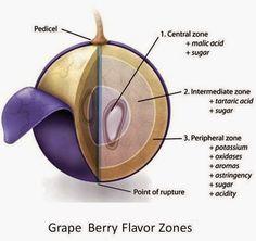 grape structure - Google Search