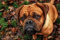 Our lovely Tiffany ♡ #Doguehills #Doguehillskennel #Doguedebordeaux