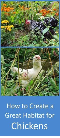 How would chickens live if they had their druthers? We can find out by looking at the habits and habitat of their wild relatives, the jungle fowl. Plus tips on how to make the most of a small space. Chicken Garden, Chicken Life, Chicken Runs, Chicken Coops, Farm Chicken, Best Chicken Coop, Chicken Tractors, Chicken Feed, Chickens And Roosters