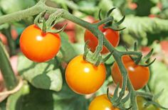 How to Grow Tomatoes in a Greenhouse – QUICKSTART GUIDE