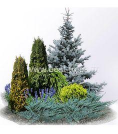 Evergreen shrub layout