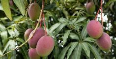 Coltivare il mango - lacucinavegetariana.it