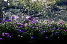 紫陽花 - Rainy season in Japan bloom hydrangea. See actually the beautiful scenery of Japan.