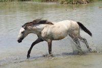 Los mamíferos (mammalia) son una clase de vertebrados amniotas homeotermos (sangre caliente), con pelo y glándulas mamarias productoras de leche con la que alimentan a las crías. #caballo