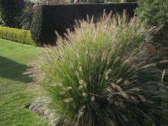 6 X Pennisetum Alopecuroides 'cassian' - Lampepoetser Pot Cm Ground Cover, Plants, Grass, Plant Combinations, Garden Plants, Modern Garden, Perennials, Ornamental Grasses, Grasses Garden