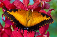 Tropical Butterfly, Charaxes pollux, photography by:  Darrell Gulin
