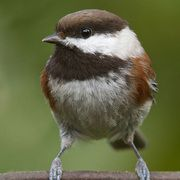 Chestnut-backed Chickadee-I have tons of these in my yard. So cute.
