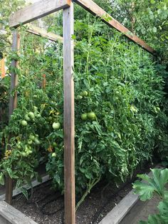 Our tomato trellis that I designed for 2017 was our best yet! Our tomato trellis that I designed for