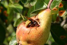 Kártevõ kisokos - Itt a második rész!   Agrárium, mezőgazdaság és élelmiszeripar Pear, Apple, Fruit, Food, Gardening, Apple Fruit, Essen, Lawn And Garden, Meals