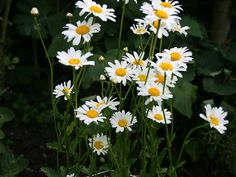 hedgerow- oxe eye daisy (gewone margriet)