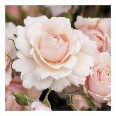 Glyndebourne (Rose)
