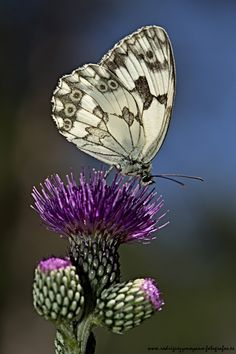 The Iberian Marbled White Melanargia Lachesis is a butterfly species; family Nymphalidae. Found on the Iberian Peninsula and the south of France