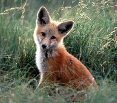 pretty fox! Swift