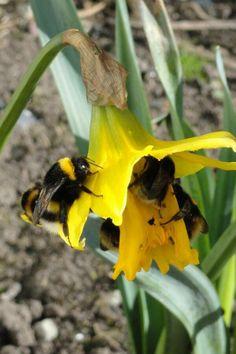 Lots of bee's on Ramsey island :)