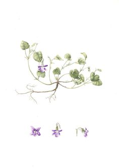 Viola riviniana, Common Name: Common Dog Violet, Artist: Chrissie Russell