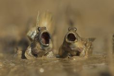 "Daniel Trim's ""mudskippers got talent"""