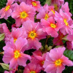 Pink hardy primrose - planted 5/18