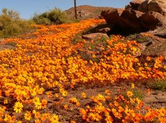 Namaqualand, South Africa I absolutely love orange flowers, especially if they are wild flowers. Wild flowers are the best. Beautiful Places In The World, Oh The Places You'll Go, Places To Visit, Beautiful Sites, Beautiful Scenery, Beautiful Flowers, Meadow Garden, Gardening, Orange Flowers