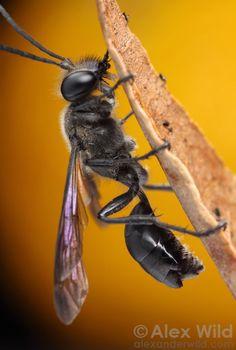 Strepsiptera - twisted-asa parasita - Strepsiptera - twisted-asa parasita Olhe atentamente para o abdômen deste Isodontia mexicanus vespa e você verá parasitas strepsipteran salientes entre os sclerites. Strepsiptera é uma ordem de animais bizarramente reduzidas que vivem como parasitas de outros insetos. Urbana, Illinois, EUA.