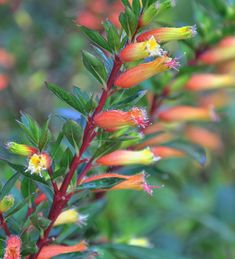 Cuphea or cigar flower or mexican heather