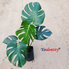 Monstera deliciosa is a famous houseplant with its large, glossy green leaves with deep splits and holes. What makes it special: Low maintenance plant. Plant with large leaves. Green Leaves, Plant Leaves, Natural Air Purifier, Low Maintenance Plants, Monstera Deliciosa, Houseplant, Deep, Nature, Naturaleza