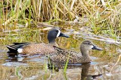 Blue Winged Teal pair Blue Winged Teal, Wings, Bird, Animals, Animales, Animaux, Birds, Animal, Feathers