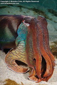 Giant Australian Cuttlefish (Sepia apama).