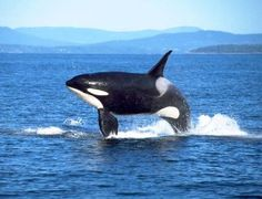 Breaching orca - Ministry for Culture and Heritage