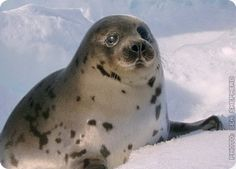 Petition To End the Cruel Canadian Seal Hunt. http://www.unleashed.org.au/take_action/petitions/canadian-seal-hunt/ #SeaShepherd #defendconserveprotect