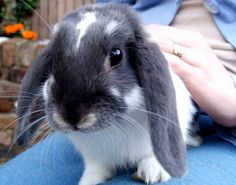 How to Raise a Lop Eared Rabbit As a Forever Friend in 6 Steps