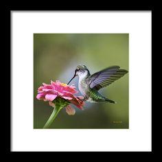 Tranquil Joy Hummingbird Square Framed Print By Christina Rollo