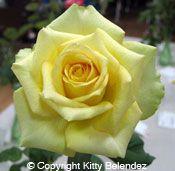 St. Patrick Rose...yellow rose...my favorite!!!
