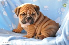Scrooge - English Bulldog Puppy for Sale in Applecreek, OH - English Bulldog - Puppy for Sale