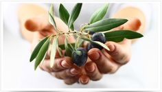 Olive Leaf Complex – your secret weapon for health and immunity. The olive plant … – Bloğ Good Idioms, Olive Plant, Olive Tree, Nutrition Information, Natural Skin Care, Vitamins, How To Memorize Things, Remedies, Leaves