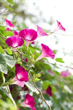 garden vines with flowers Pink Garden, Dream Garden, Pink Flowers, Beautiful Flowers, Morning Glory Flowers, Flower Meanings, Bloom, Climbing Vines, Japanese Flowers