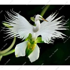 100 Japanese Radiata Seeds White Egret Orchid Seeds World's Rare Orchid Species White Flowers Orchidee Semillas De Flores Raras