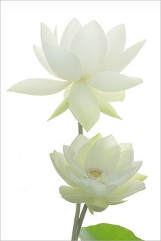 What does a lotus flower tattoo symbolize we have the answer two white lotus flowers mightylinksfo
