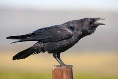 Black Raven Cronk #4249537