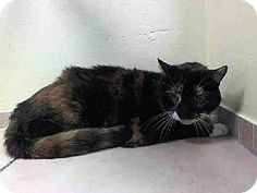 Brooklyn, NY - Domestic Shorthair. Meet NYLA a Cat for Adoption.