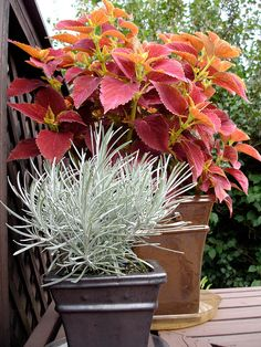 """Warm and Cool - Quite a contrast of colours and textures here. The cool, icy silver of  """"Icicles"""" helichrysum is offset by the warm red/green of the """"Alabama Sunset"""" coleus."""